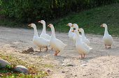 Gaggle Of White Domestic Geese Crossing The Road