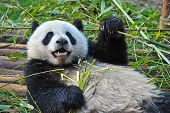 China 's giant panda bear