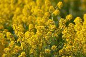 Flores da Primavera de amarelo