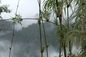 Horsetail  with rain drops