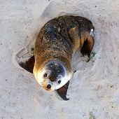 Young Australian Sea Lion Pup.  Seal Bay Conservation Park, Kangaroo Island, South Australia