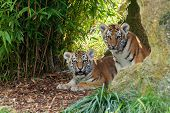 Two Adorable Amur Tiger Cubs Hiding In Shelter