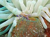 Spotted Cleaner shrimp with anemone