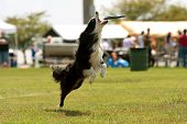 stock photo of frisbee  - Dog jumps and opens mouth to catch frisbee - JPG
