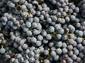 stock photo of gleaning  - of fresh grapes - JPG