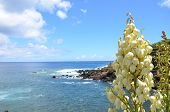 Yucca flowers in the Azores
