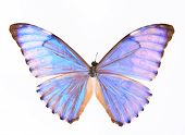 Morphidae: blue Purple Butterfly Isolated On A White Background