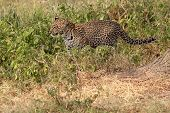 Leopard Walking In The Bush