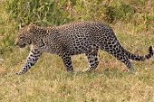 Leopard Walking In The Savannah