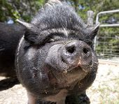 A potbelly pig comes in for a kiss