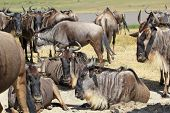 Herd Of Blue Wildebeests