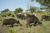 Herd of African buffaloes (Syncerus caffer) with tourists in jeep in background