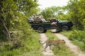 Leopard (Panthera pardus) crossing road with tourists in jeep in background