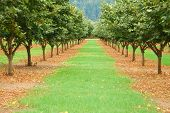 pic of filbert  - Hazelnut or filbert orchard in the Umpqua Valley near Roseburg Oregon - JPG