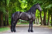 Friesian horse portrait outdoors
