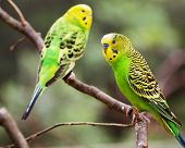 Colorful parakeets resting on tree branch