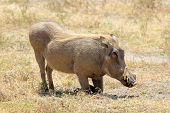 A Warthog Sitting