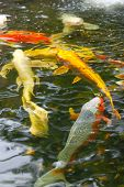 stock photo of koi fish  - Koi fish in a pond - JPG