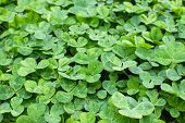 Leafs of clover