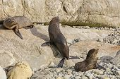 Young Fur Seals Basking In The Sun