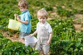 foto of strawberry blonde  - Two little boys on organic strawberry farm in summer picking berries - JPG