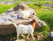 image of headstrong  - Two Goats grazing in the green countryside - JPG