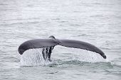 pic of humping  - Tail fin of the mighty humpback whale  - JPG