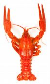 image of crawfish  - Boiled crawfish close - JPG