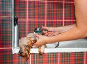 Постер, плакат: Женский грумер мыть Йоркширский терьер