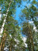 Birch and pine tops against blue sky