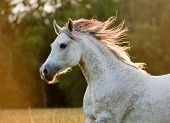 stock photo of horse face  - arabian horse in a sunset light in forest - JPG