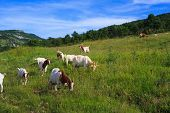 image of headstrong  - The Goats grazing in the green countryside - JPG