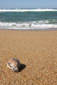 Tiger Cowrie Shell On A Sea Landscape