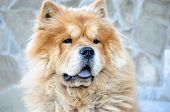 Chinese Chow-chow Dog At The Street