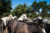 stock photo of lipizzaner  - Herd of White Lipizzan Horses With Young Brown Foals - JPG