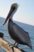 Pelican