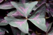 Purple, False Or Lucky Shamrock (oxalis Regnellii Atropurpurea Or Oxalis Triangularis)