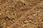 French Bean Seed In The Soil