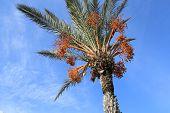 Date Palm Tree And A Nice Blue Sky