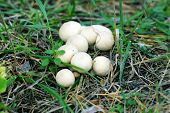 stock photo of grebe  - Inedible mushroom - JPG