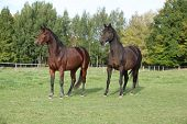 Two Warmbloods On Autumn Pasturage