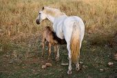Picture of mare feeding her foal.