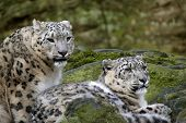 pic of panthera uncia  - A pair of sna pair of snow leopard between the stone with of the MOSS - JPG