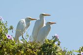 Two Cattle Egrets And A Great White Egret Roosting