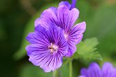 foto of geranium  - close up of a blue geranium flower