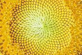 Close-up Of Sunflower.