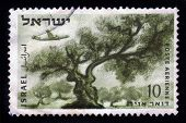 Plane Over Olive Tree