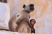 stock photo of brahma  - Gray langur with a baby sitting at the temple Pushkar Rajasthan India - JPG