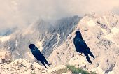Pair Of Alpine Choughs