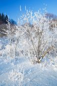 Bushes Covered By Hoarfrost